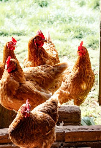 Free Range Pasture Poultry Chickens